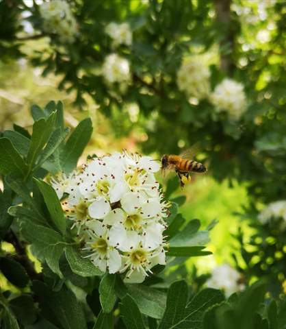 Howthorn Flower Benefits