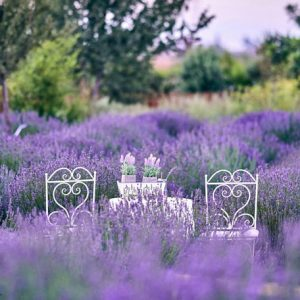 lavender garden at Cyherbia is among the best festivals in Cyprus