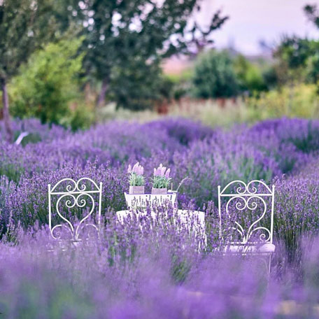 lavender festival at Cyherbia is among the best festivals in Cyprus